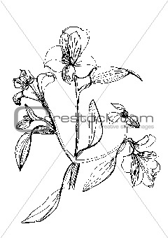 Alstrameriya flower drawing