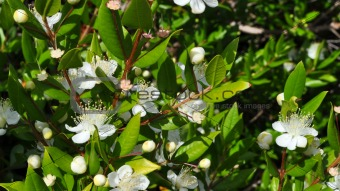 Myrtus
