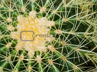 Cactus Macros with Texture Suitable for Desert Backgrounds