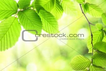 green summer leaves