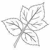 Leaf of raspberry, contours
