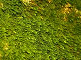 The moss growing on limestone rocks