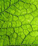 Underside Of A Green Leaf 22