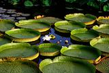 round water lily leaves