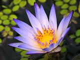 Bright Blue Water Lily