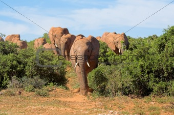 African Elephants heading my way