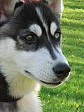 Husky's face