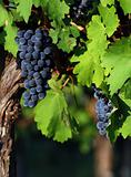 Italian wine grapes