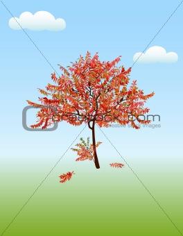 Autumn acacia