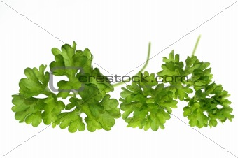 Top of parsley
