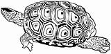 Northern Diamond-backed Terrapin