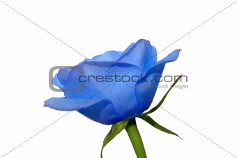 An isolated photo of the blue rose