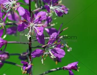 Fireweed (Epilobum Angustifolium)