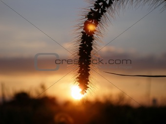 Close up shot of grass grain against horizon and setting sun
