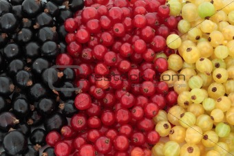 Black, Red and White Currants