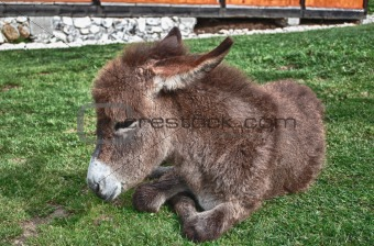 Young donkey sitting in grass