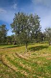 Olive-tree.