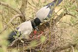 Crows family with yonglings in the nest