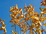 Autumnal colored leaves of an apple tree over blue sky