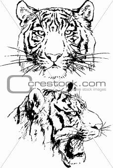 tiger sketches