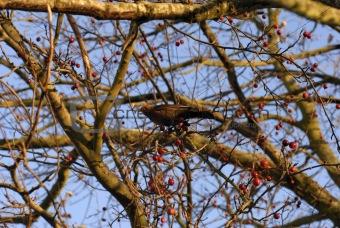 Blackbird in rowan berry tree