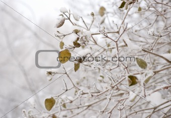 Green leaves in winter