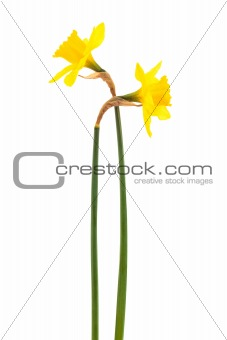 Beautiful two narcissus