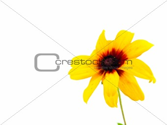 Single Yellow Daisy Isolated on White Background