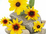 Yellow Daisies on Gray Stones Isolated on White