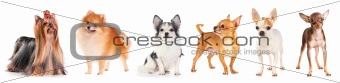 Six small dog
