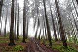 misty coniferous forest