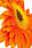 orange gerber