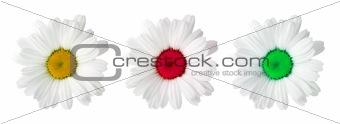 Three flowers camomiles