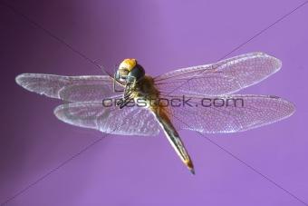 The dragobfly
