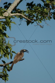 Grey-billed hornbill