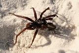Funnel Web Spider - Fraser Island, UNESCO, Australia