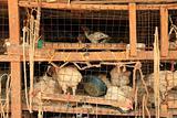 Chicken Market - Soroti, Uganda, Africa