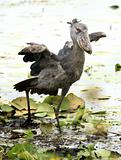 Shoebill in the Wild - Uganda, Africa