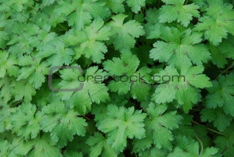 Green geranium leaves