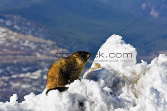 Marmot seen on the top of Mt Evans