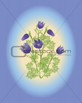 anemone pulsatilla vulgaris
