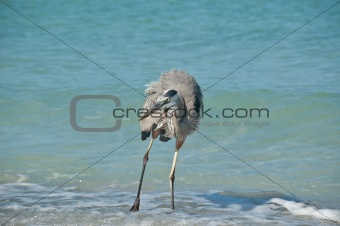 Great Blue Heron on a Florida Beach