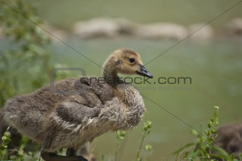 Canada Gosling in the Grass