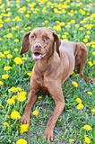 Hungarian Vizsla Dog Lying in Dandelions