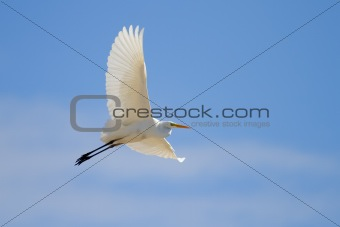 Great Egret Flying