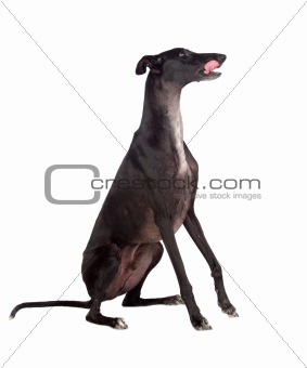 Greyhound breed dog
