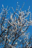 apricot bloom.