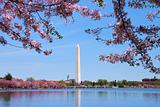 Washington monument and Cherry blossom, Washington DC