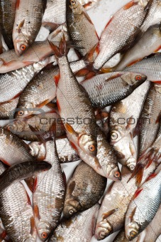 Fish in scales background