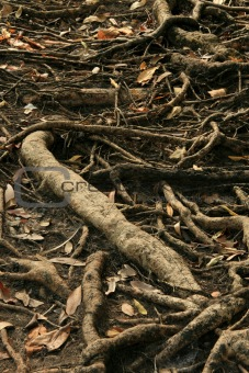 Tree Roots - Kakadu National Park, Australia